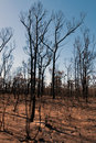 After the bushfire this scene comprising parched earth and burnt trees was captured following recent bushfires in new south wales Royalty Free Stock Images