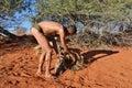 Bushman hunter kalahari desert namibia jan checks a trap for the porcupine san people also known as bushmen are members of various Royalty Free Stock Photography