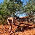 Bushman hunter kalahari desert namibia jan checks a trap for the porcupine san people also known as bushmen are members of various Royalty Free Stock Images