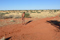 Bushmen hunter in the kalahari desert namibia jan checks an animals traces on ground san people also known as are members of Stock Image