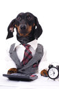 Business dog portrait of a dachshund wearing a suit and tie isolated over white Stock Photo