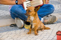 Busker s helper a sad little dog sitting in front of a with money bucket in mouth Royalty Free Stock Images