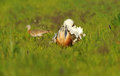 Bustard steppe turning cartwheels a male in the field of cereal Stock Photo