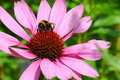 Bumble bee on a big flower Royalty Free Stock Photo