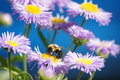 Busy bee bumble feasting on purple daisy with unique blue background Royalty Free Stock Images