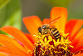Busy bee on orange flower Royalty Free Stock Photo