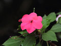 Busy lizzie balsam simply impatiens Royalty Free Stock Images