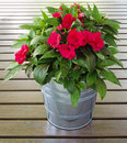 Busy lizzie in a flower pot made of metal on brown wood lats Stock Photo