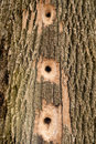 Busy woodpecker tree holes in a created by a very Royalty Free Stock Photos