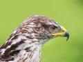 Buteo regalis - Ferruginous buzzard. Bird of prey.