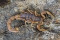 Buthus skorpion scorpio occitanus Zdjęcia Royalty Free