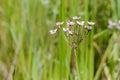 Butomus Umbellatus Flowers Royalty Free Stock Photo