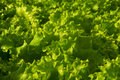 Butter lettuce full frame close up photo of a Royalty Free Stock Photos