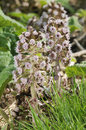 Butterbur flowers two petasites hybridus common along canal banks Stock Photography