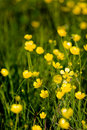 Buttercup Background Royalty Free Stock Image
