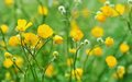 Buttercup field of covered by dew Stock Photography