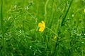 Buttercup flower yellow on the green meadow Royalty Free Stock Images