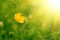 Buttercup flower yellow on the green meadow with sun rays Royalty Free Stock Photo