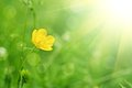 Buttercup flower yellow on the green meadow with sun rays Royalty Free Stock Photography