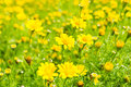 Buttercup Meadow in flower Garden Royalty Free Stock Photo