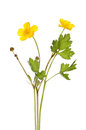 Buttercup ranunculus flowers buds and foliage isolated against white Stock Photos