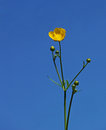 Buttercup single against a beautiful clear blue sky Royalty Free Stock Photos