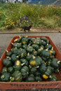 Buttercup squash and friendly farm cat a bin of at a local vendor with a in the background keremeos bc canada Stock Photos