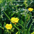 Buttercup wildflowers in the morning light Stock Image