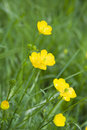 Buttercups Royalty Free Stock Photography