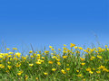 Buttercups in field Royalty Free Stock Image