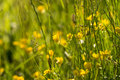 Buttercups in the field early summer blooming meadow is lush with long grass and wild at peak of their Royalty Free Stock Photography