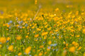 Buttercups flowers meadow bright floral natural background with yellow growing in the on a sunny day Royalty Free Stock Images