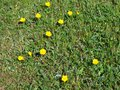 Buttercups wild yellow field flowers close up Royalty Free Stock Image