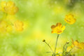 Buttercups. Yellow wildflower. Royalty Free Stock Photo
