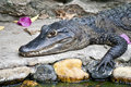 Butterfish krokodyla uśmiech Zdjęcia Royalty Free