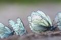 Butterflies black veined white aporia crataegi Royalty Free Stock Image