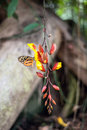 Butterflies on exotic tropical flower, Ecuador Royalty Free Stock Photo