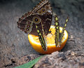 Butterflies feeding with orange juice Stock Photos