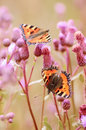 Butterflies on flowers aglais urticae cirsium arvense Royalty Free Stock Photo