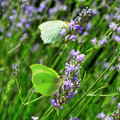Butterflies and lavender Royalty Free Stock Photo