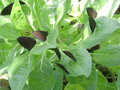 Butterflies on leaves Royalty Free Stock Photo