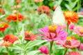 Butterflies Pollinate Zinnia F...