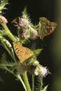 Butterflies on a prickle in mountains against dark background Royalty Free Stock Photography