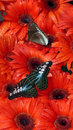 Butterflies on red flowers Stock Images