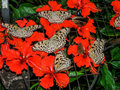 Butterflies on red flowers Royalty Free Stock Photo