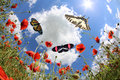 Butterflies at springtime over corn poppys Royalty Free Stock Photography
