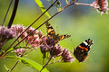 Butterflies in summer garden Royalty Free Stock Photo