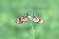 Butterflly two butterflys with flower Royalty Free Stock Photo