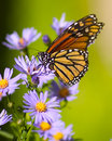 Image : Butterfly  monarch flying