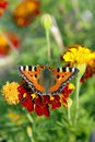 Butterfly (Aglais urticae). Royalty Free Stock Images